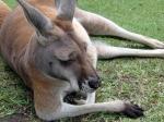 lazy-kangaroo